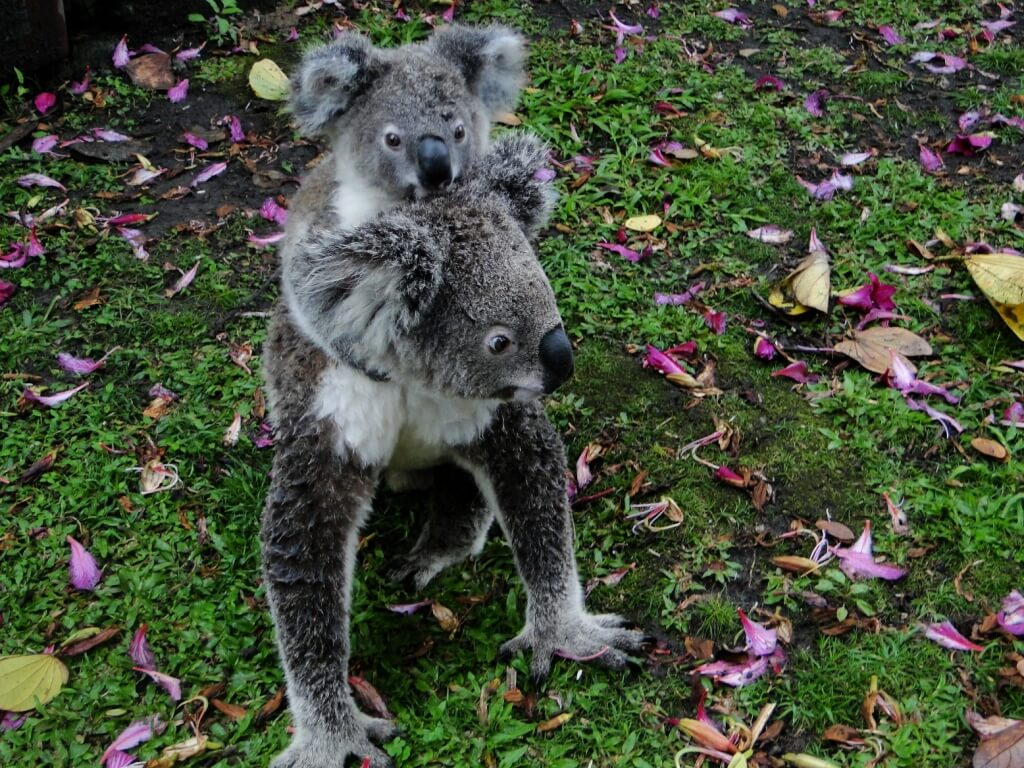 Koala neighbours