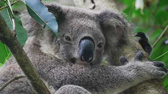 Surrounded by wildlife – one of our resident koalas